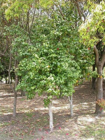 常緑樹002